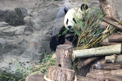 Panda Mama stärkt sich