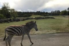 Ein Zebra wandert auf der Straße