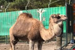 Kamel glotzend