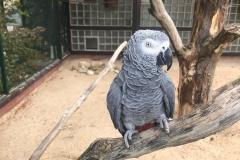 Ein grauer Papagei